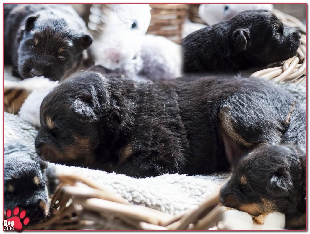 chodsky pups