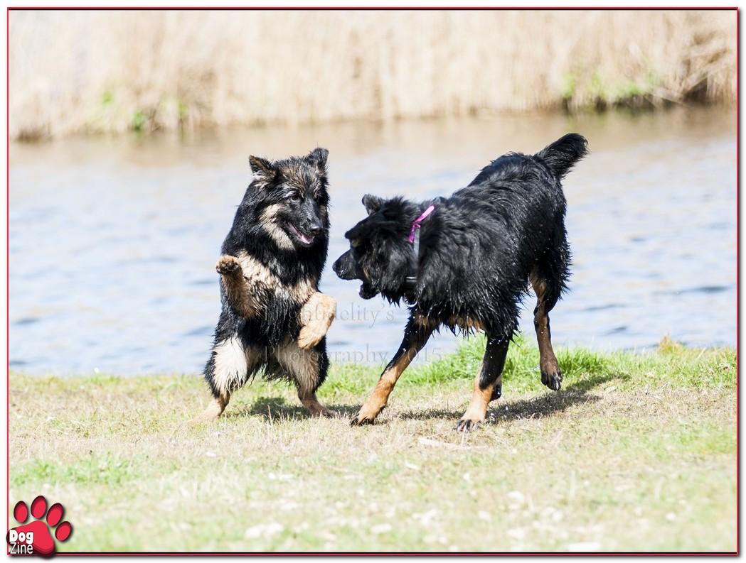 chodsky pes