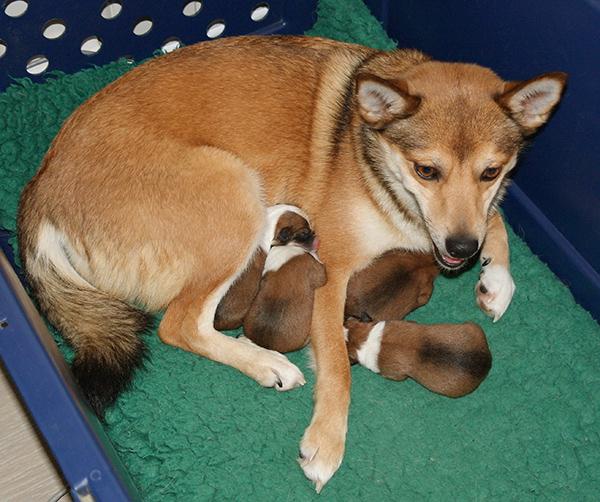 lundehund x buhund