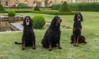 Gordon setter op de Highland games