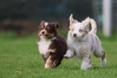 Miniature American Shepherd Club: erkenning in Canada
