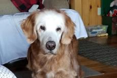 Oudste Golden Retriever ooit is 20 geworden