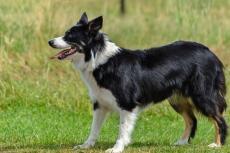 Border Collie hond met meeste gedragsproblematiek