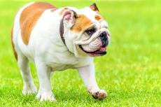 The Kennel Club: update fokplan voor de Bulldog